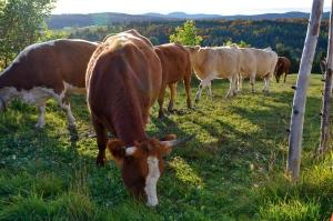 Vaches de la Ferme d'élevage Veilleux
